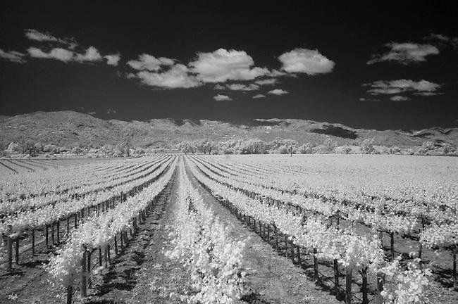 Pinot Noir grape ripening