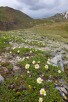 Mountain Aven wildflowers, Denali National Park, Interior, Alaska