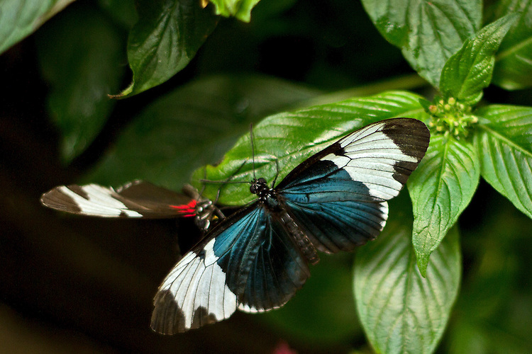 A Sapho Longwing in full Dorsal view shares a leaf with a Sapho Longwing in Ventral view.
