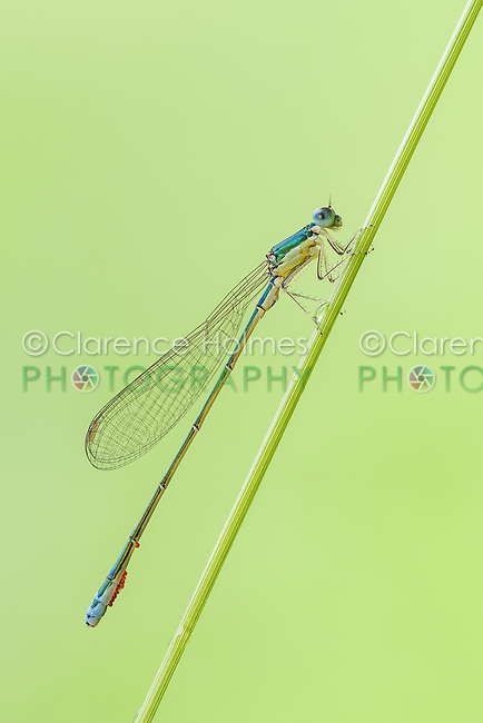 A male Sedge Sprite (Nehalennia irene) damselfly perches on a plant stem.