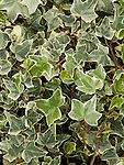 Glacier English Ivy, Hedera helix