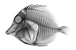 X-ray image of a yellow tang fish (black on white) by Jim Wehtje, specialist in x-ray art and design images.