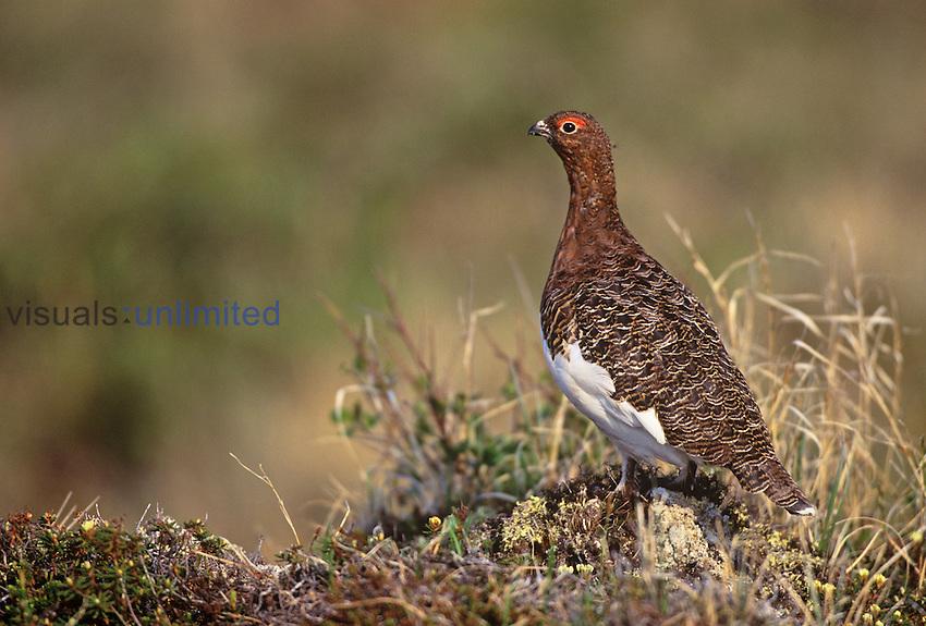 Willow Ptarmigan in summer plumage ,Lagopus lagopus, Canada.