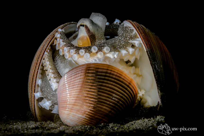 Coconut Octopus (Amphioctopus marginatus) playing with shells
