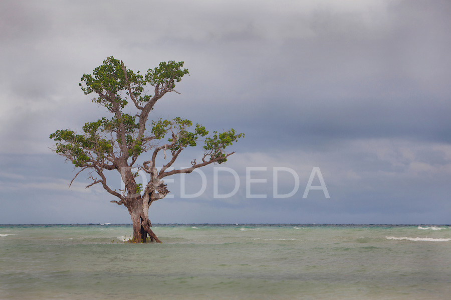 A mangrove tree on the coast of Siquijor, Philippines.