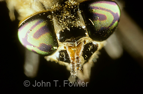Deer fly eyes  Chrysops sp.
