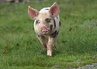 Gloucester Old Spot piglet.