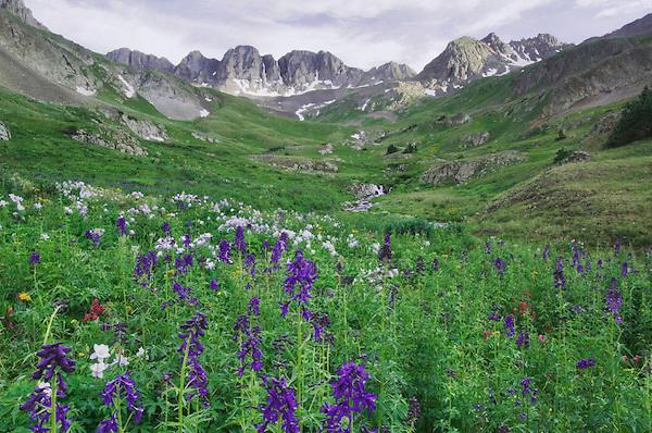 Mountains and wildflowers in alpine meadow, Tall Larkspur,Delphinium barbeyi,Blue Columbine,Colorado Columbine,Aquilegia coerulea, Ouray, San Juan Mountains, Rocky Mountains, Colorado, USA, July 2007