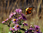 Butterfly on wildflowers near Pepacton reservoir on May 17, 1998. Photo by Jim Peppler