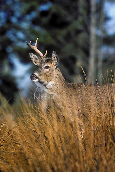 White-tailed deer. Buck with one antler missing..(Odocoileus virginianus)..Autumn. Canada.