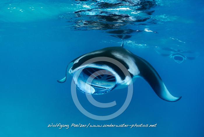 Manta alfredi, Riffmanta beim Fressen, Feeding Reefmanta, Malediven, Baa Atoll, Hanifaru Bucht, xy Indischer Ozean, Baa Atoll, Hanifaru Bay,  Maldives, Indian Ocean