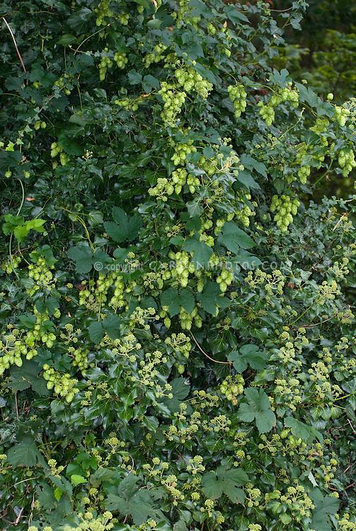 Humulus Lupulus Nugget Hops Vine Hedera Helix Plant