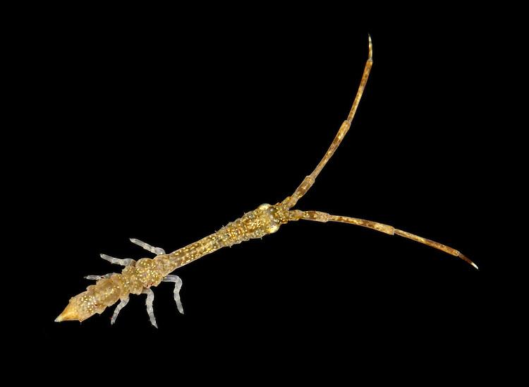 Astacilla longicornis