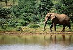 African elephant, Mpala, Nanyuki, Kenya