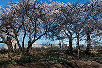 New York City, New York, Coronavirus in New York. 4/8/20  A few people exercise in Central park, taking in the blooming cherry blossoms during the spring time of coronavirus, offering a small gift of beauty during this challenging time.