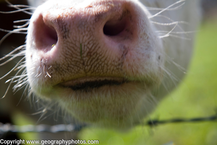 Close up of wet nose of Hereford cow at Boyton marshes, Suffolk, England