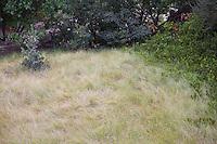 Bouteloua gracilis, blue grama grass meadow, natural lawn substitute - Denver Botanic Garden