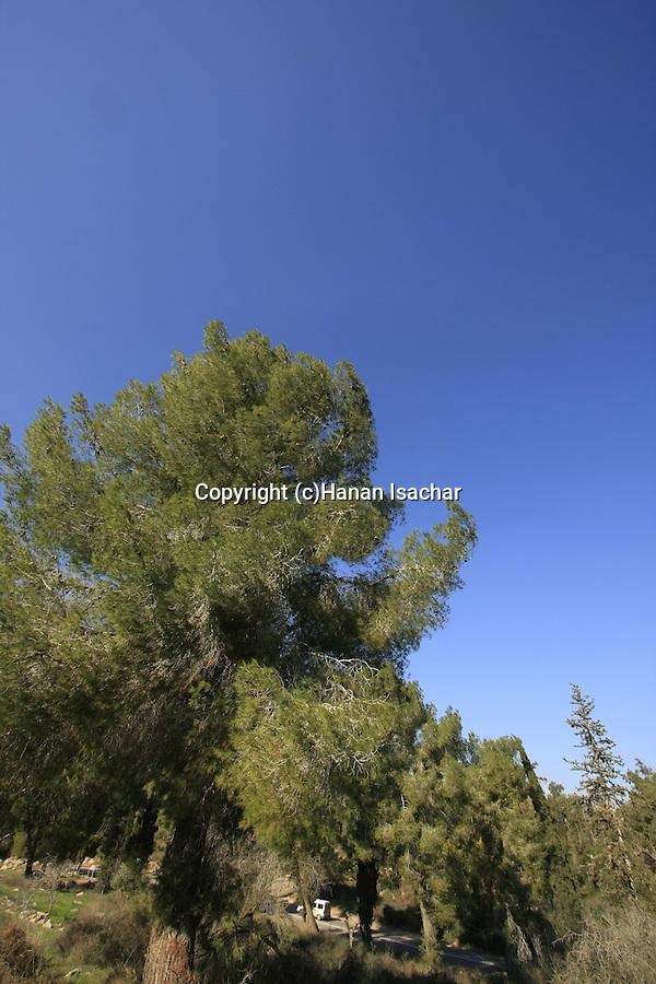 Israel, Shephelah, Pine trees by Road 35