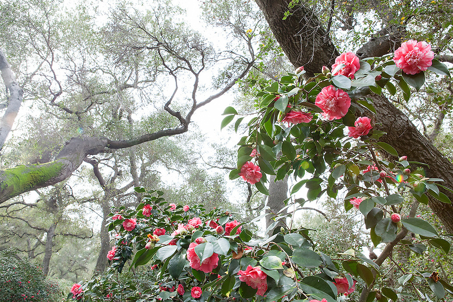 Camellias in bloom in spring, California, USA