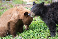 A black bear sow with cinnamon and black yearling cubs was seen frequently along the Tower Road throughout the spring.