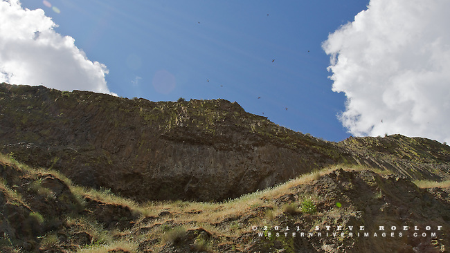 Swallows circle near their nests in the basalt cliffs above the John Day River, Oregon.