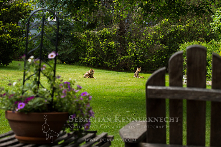 Coyote (Canis latrans) male and female in backyard, Gloucester, Cape Ann, eastern Massachusetts