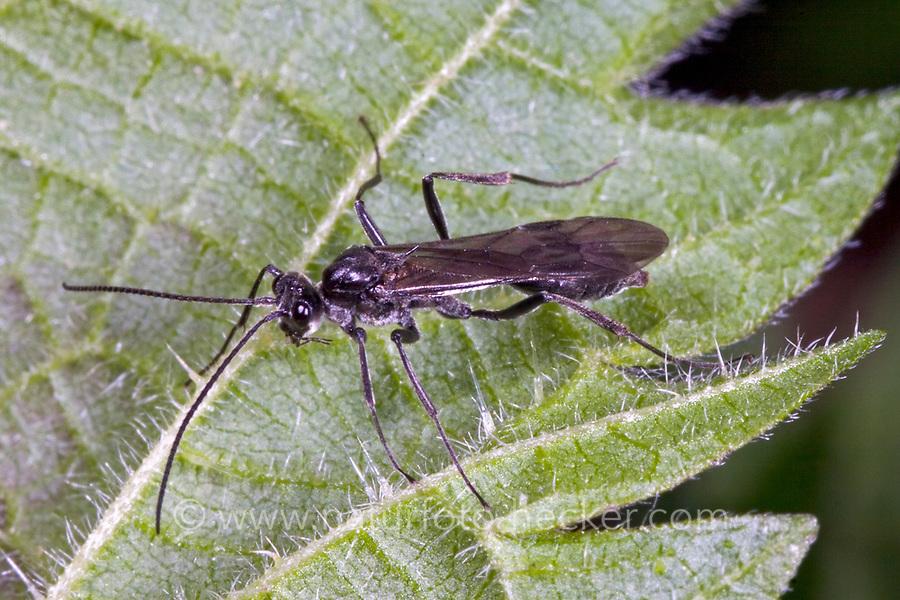 Köcherfliegen-Schlupfwespe, Köcherfliegenschlupfwespe, Wasserschlupfwespe, Wasser-Schlupfwespe, Agriotypus armatus, Agriotypus abnormis, Agriotypidae
