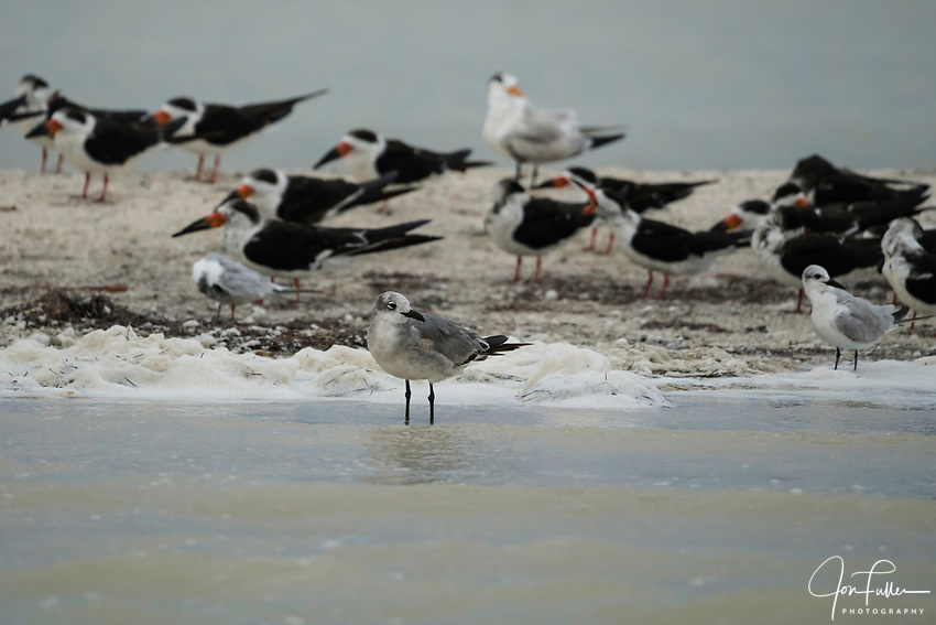 A Laughing Gull, Leucophaeus atricilla,  in front of a flock of Black Skimmers and Royal Terns in the Ria Lagartos Biosphere Reserve, a UNESCO World Biosphere Reserve in Yucatan, Mexico.