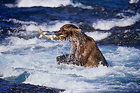 Coastal grizzly (Ursus arctos) catching salmon.  McNeil River, Alaska.  August.