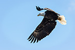 Adult Bald Eagle fishing over the river