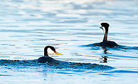 A pair of Western Grebes, Aechmophorus occidentalis, swims on Upper Klamath Lake, Oregon
