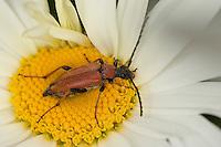 Rothalsbock, Rot-Halsbock, Roter Halsbock, Gemeiner Bockkäfer, Weibchen, Blütenbesuch, Corymbia rubra, Stictoleptura rubra, Leptura rubra, Aredolpona rubra, Red Longhorn Beetle, Red Longhorn-beetle