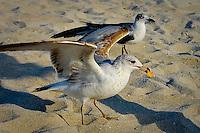 Seagulls at Miami Beach, Florida, USA. Photo by Debi Pittman Wilkey