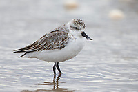 Juvenile Spoon-billed Sandpiper (Eurynorhynchus pygmeus). Geum Estuary, South Korea. October.