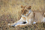 Lioness Resting With Eyes Closed