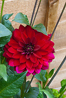 Dahlia 'Arabian Night' red flowers, semi dinnerplate, dinner plate