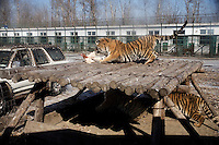 Tigers feed on live chickens purchased by visitors to the Siberian Tiger Park in Haerbin, Heilongjiang, China. The Siberian Tiger Park is described as a preserve to protect Siberian tigers from extinction through captive breeding.  Visitors to the park can purchase live chickens and other meat to throw to the tigers.  The Siberian tiger is also known as the Manchurian tiger.