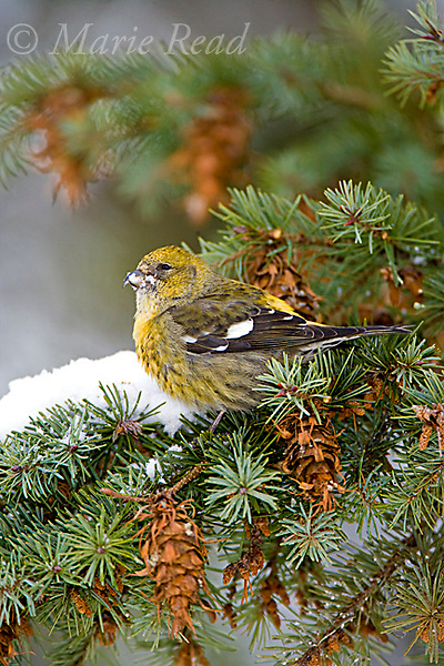 White-winged Crossbill (Loxia leucoptera), female eating snow amid Douglas-fir cones, Ithaca, New York, USA