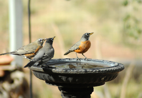Robins at bath