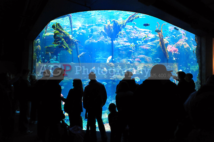 San Francisco, California, USA - People view the large variety of fish and other creatures on display in the huge aquarium at the California California Academy of Sciences Natural History Museum in San Francisco. (Photo by Alan Greth)
