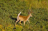White-tailed Deer buck (Odocoileus virginianus) in velvet.  Western U.S., summer.