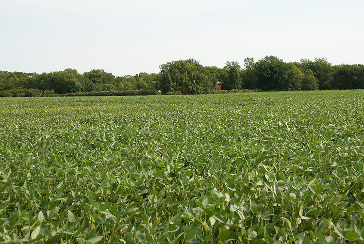 Minnesota agriculture: corn and soybeans are the two main crops of Southern Minnesota.  Field of soybeans..Photo mnqual332-75083..Photo copyright Lee Foster, www.fostertravel.com, 510-549-2202, lee@fostertravel.com.