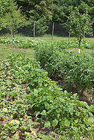 Beans, tomatoes, fruit, pumpkins growing in vegetable garden with deer fencing