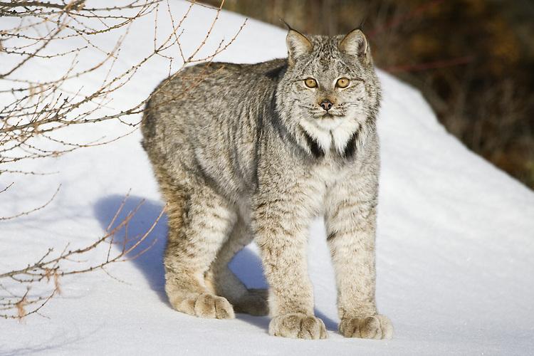 Canada Lynx standing on a snowy hill - CA