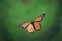 MONARCH BUTTERFLY in flight..North America. Danaus plexippus.