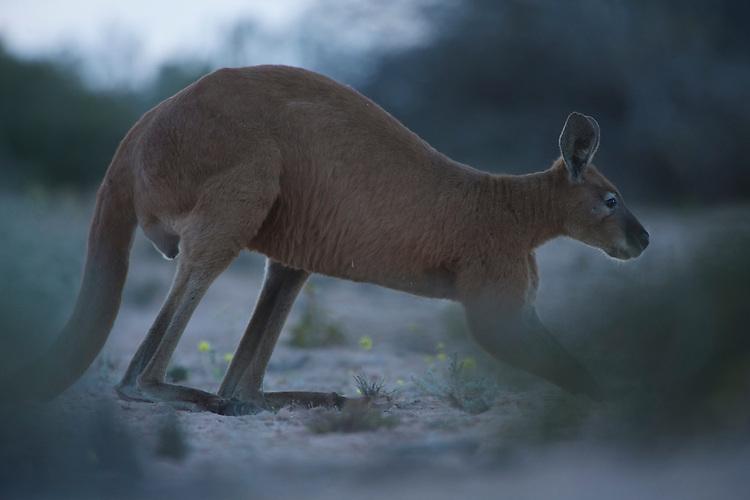 Red kangaroo in arid scrubland owned by  Shark bay salt, a solar salt farm, in Western Australia.