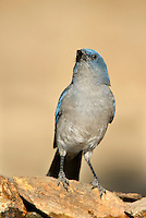 551130018 a wild  mexican jay alphelocoma wollweberi perches on a rock in madera canyon green valley arizona united states