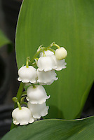 Convallaria Lily of the Valley Stock Photos