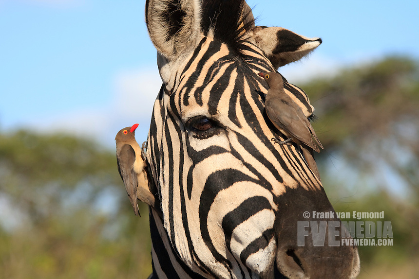 Pains Zebra (Equus quagga burchellii) with red-billed oxpecker (Buphagus rythrorhynchus).A display of the symbiotic relationship shared by these two species. Mutual benefits. Fall, April 2007. .Hluhluwe Imfolozi Game Reserve, KwaZulu Natal, South Africa.