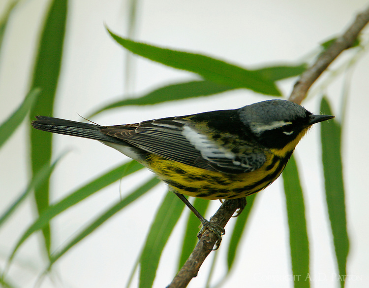 Adult male magnolia warbler in breeding plumage in willow tree
